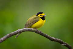 Hooded Warbler (Mike Veltri) Tags: ontario canada nature birds canon avian 600mm mikeveltri