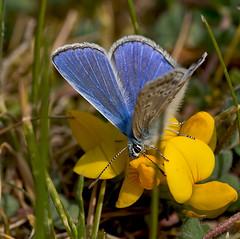 Small Blue (dolorix) Tags: nature zwanenwater bluling naturalreserve northholland naturreservat nordholland dolorix