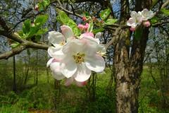 apple tree blossom (JoannaRB2009) Tags: flower macro tree apple nature closeup spring blossom poland polska lodzkie dzkie sarnw