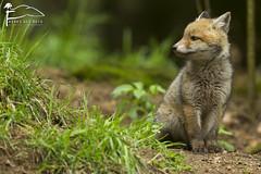 Tranquille (Les Frres des Bois) Tags: cub fox bb fort roux mignon vulpesvulpes renardeau renard sousbois vulpes goupil renardroux