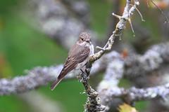 Spotted Flycatcher (Dartmoor Mike) Tags: bird birds island devon spotted lundy flycatcher