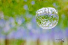 bos hyacint (Erik Reijnders) Tags: woods crystal bol bos hyacint nikond300