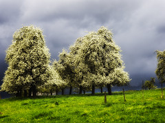 Waiting Thunderstorm (enneafive) Tags: storm flower nature fleur weather clouds landscape spring belgium belgique belgie blossoms orchard bloom thunderstorm paysage peartrees borgloon
