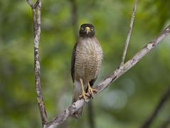 Brazil (richard.mcmanus.) Tags: brazil bird hawk wildlife raptor pantanal birdofprey gettyimages mcmanus roadsidehawk