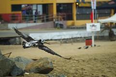 Ancient Landing (mariocristian_venegasibarra) Tags: chile bird valparaiso pelican ave fishingboats pesca pelicano