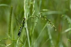 Common green darner (Andrew Snyder Photography) Tags: mississippi swamp springdale watervalley commongreendarner greendarner anaxjunius andrewmsnyder springdalewildlifemanagementarea