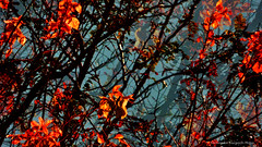 (ojoadicto) Tags: trees red orange naturaleza nature arboles autum otoo troncos digitalmanipulation