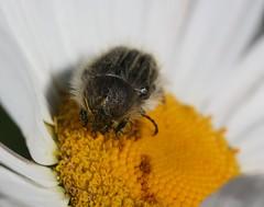 Tropinota sp. (Scarabaeidae) (iainrmacaulay) Tags: france beetle scarabaeidae tropinota