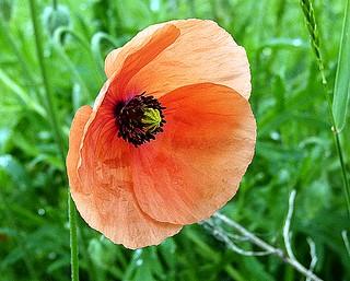 2016-05-23 Villers (3)poppy