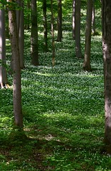 Bears garlic on the Werra hills (:Linda:) Tags: tree germany whiteflower thuringia veilsdorf beechtree buche leite brlauch bearsgarlic bearsgarlic werrahills eichigt werravalleyhills