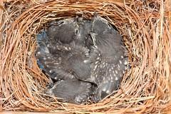 Eastern Bluebird (Sialia sialis) 14-15 Days Old (Steve Byland) Tags: canon babies nest box 7d bluebird eastern markii sialis sialia