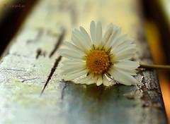 Daisy ... (MargoLuc) Tags: light white flower green backlight bench golden little bokeh daisy theme anythinggoes macromondays