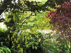 1417 Laburnum (Andy panomaniacanonymous) Tags: 20160527 fff flowers gardenflower ggg laburnum lll pendentraceme ppp rrr yellow yyy