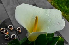 calla-437 (dironzafrancesco) Tags: flower nature garden schweiz outdoor sony natur blumen garten aargau ch wettingen imfreien slta77 dt1650mmf28ssm lightroomcc
