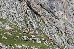 branco (Franco C. IT) Tags: mountains nature fauna wildlife 7d 24105 cervus