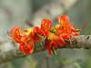 Blackbean (igomak) Tags: brisbane blackbean fabaceae redflowers castanospermumaustrale moretonbaychestnut castanospermum arfp olympuse30 nswrfp qrfp arfflowers orangearfflowers tropicalarf subtropicalarf