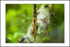 close-up #15 [explored] (e.nhan) Tags: life light green art nature yellow closeup colorful shadows dof dragonfly bokeh backlighting enhan
