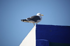 BLUE (fabiogis50) Tags: blue sky bird seagull morocco gaviota essaouira gabbiano moet doubleniceshot tripleniceshot magicmomentsinyourlifelevel2 magicmomentsinyourlifelevel1