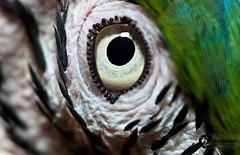 Close eye... (Pablin79) Tags: macro bird eye argentina animal closeup digital canon eos reflex flash explore 5d candelaria pipa misiones markii araararauna 580 105mm speedlite blueandyellowmacaw 2011 explored sigma105mmexdgf28macro canoneos5dmarkii canonflashspeedlite580exii 5dmkii pabloreinsch pabloreinschphotography pablin79