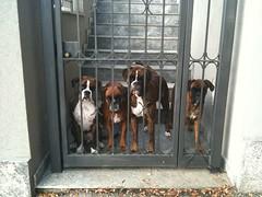 (deboh76) Tags: dog pet cane boxerdog crew bunch boxer gruppo mucchio canidi patafruttoli boxercrew deborahguerra deboh76