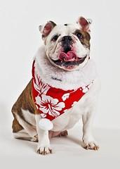 Christmas Dog Collar & Bandana - Stocking Stuffers for Dogs (POTCAKEcollars) Tags: christmas dog dogs island for bulldog hawaiian doggy stocking bandana collar bahama collars potcake stuffers