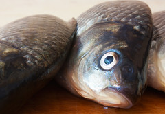 Fresh just caught live river fish. (hoboton) Tags: fish yellow closeup silver river eyes raw head board cook tasty fresh meat just scales meal half chopping finished carp diet product pure caught brilliant preparation materials crude prussian carassius gibel gibelio