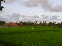 Pererenan rice fields (petersimpson117) Tags: pererenan umahpeter