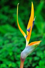 Bird of Paradise (zamon69) Tags: au melbourne birdofparadise vic australien melbournebotanicalgarden papegojblomma
