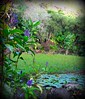 ~~WaimeaBotanicalGarden#8~~ (TravelsThruTheUniverse) Tags: waterlilies tropicalplants tropicalflowers exoticgardens zengardens oahuhawaii exoticflowers summergardens tropicalgardens tropicalfoliage subtropicalgardens waimeavalleybotanicalgarden tropicallandscapes subtropicallandscapes waimeavalleyoahu waimeaparkhaleiwaoahu