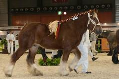DSC_0670 (Ton van der Weerden) Tags: horses horse dutch de cheval brussel nederlands belges draft 2012 chevaux nationale belgisch trait heizel 2011 agribex trekpaard trekpaarden prijskamp vierjarigennationaleprijskamp2012brussel malinevanhethermeshof