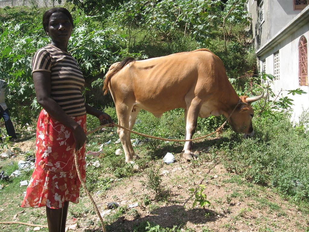 Mme Lopes Louis, beneficiaire faisant brouter une vache