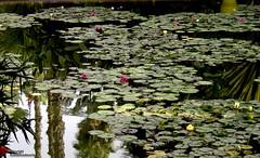 Garden in Marakech. (babakos1967 (more off than on)) Tags: reflections garden waterlilies marocco marrakech exoticplace