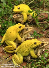 Bull Frogs Mating (Example of Sexual Selection) (Fahim Hassan) Tags: naturaleza love nature beauty sex canon natur frog beaut environment hermoso  bangladesh beau belleza environnement schnheit umwelt ambiente   milieu sexualdimorphism schoonheid