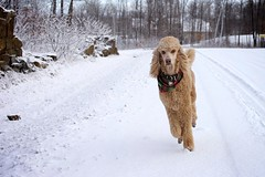 Run to You (Perry McKenna) Tags: snow canon walk sigma running cooper bandana whitechristmas neighbourhood 50mmf14 bryanadams day357 111223 runtoyou 5d2 3652011 day357365 365the3511edition