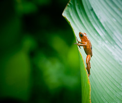 frog (j / f / photos) Tags: deleteme5 deleteme8 deleteme deleteme2 deleteme3 deleteme4 deleteme6 deleteme9 deleteme7 standing leaf costarica saveme4 saveme5 saveme looking saveme2 saveme3 deleteme10 amphibian frog tadpole strawberrypoisondartfrog