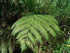 Cyathea cooperi 1 (barryaceae) Tags: the sanctuary forster australianrainforestplants australianferns australian rainforest plants species ferns new south wales australia ausrfps ausferns cyatheaceae treefern