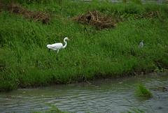Guatemala - Pjaro / Bird / Vogel (Galeon Fotografia) Tags: naturaleza bird nature guatemala natur ave vogel fgel ibon   hegazti vol kalikasan garzablanca  mardelcaribe nyuni garablanca  galeonfotografa