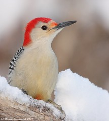 Red bellied woodpecker (v4vodka) Tags: bird nature animal woodpecker wildlife ngc birding redbelliedwoodpecker birdwatching melanerpescarolinus supershot mortonrefuge dzieciol birdperfect allofnatureswildlifelevel1 allofnatureswildlifelevel2 allofnatureswildlifelevel3