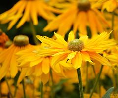Yellow flowers .. (AZO Monifi) Tags: life flowers summer flower green london nature yellow gardens garden nikon united great royal parks kingdom hyde kensington nikkor  2011