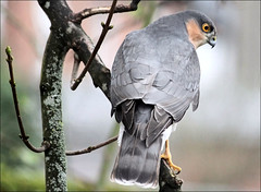 Sparrowhawk male (Judy's Wildlife Garden) Tags: male sparrowhawk judykennett knightonpowys