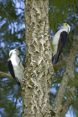 White Woodpecker (Pica-Pau Branco) (Fabio Rage) Tags: brazil white bird branco brasil canon woodpecker couple pica ave 400 100 mm pau passaro supershot avianexcellence
