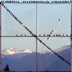 122 Starlings (judy_and_ed) Tags: snow mountains net birds fence washington netting count starlings 122 hff whatcomcounty fj3 fl2 nooksackvalleyhighschool rossparknet