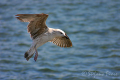 Larus michahellis (Stefano Fiore) Tags: sea bird flying fishing seagull landing napoli naples gabbiano reale nordico