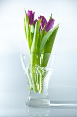 falling tulips (Micael Carlsson) Tags: tulips falling trigger tulpaner nostrobistinfo removedfromstrobistpool seerule2 cactusv5 ginordicjan12