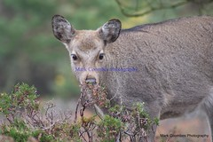 DSC00445 (Mark Coombes Photography) Tags: female woodland deer dorset sika