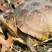Female Three-toed Box Turtle