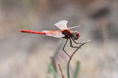 Unknown Dragonfly / Darter, Ebro Delta, Spain. (Andy_Hartley) Tags: mygearandme musictomyeyeslevel1
