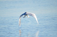 (Sally Rae Kimmel) Tags: egret egrets pinole birdinflight pointpinole egretinflight eastbayregionalpark richmondca flyingegret pointpinoleregionalshoreline