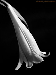 LILLY BELL (michaeljohnsimages) Tags: camera flowers light shadow bw inspiration abstract flower macro art nature beautiful beauty canon mono photo leaf petals flickr shadows dof close bright image photos bokeh best petal beam explore shade lilly passion encounter eternal fragrance monocrome blinkagain gettyimagesirelandq12012