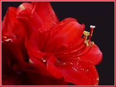"Royal Red (Cathpetsch) Tags: red flower macro nature closeup niceshot nederland natuur amaryllis soe redflower bouquets bloem hippeastrum autofocus wow1 amaryllidaceae zevenbergen thegalaxy panasonicdmctz6 doubleniceshot ""doublefantasy"" tripleniceshot mygearandme thegalaxyhalloffame flickrstruereflection1 4timesasnice 6timesasnice 5timesasnice 7timesasnice niceasitgets rememberthatmomentlevel1"